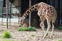 Two giraffes in Saint-Petersburg zoo stock image