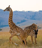 Two giraffes in savanna. Kenya. Tanzania. East Africa. Royalty Free Stock Photo
