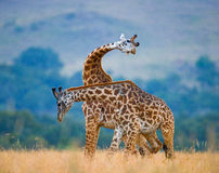 Two giraffes in savanna. Kenya. Tanzania. East Africa. Royalty Free Stock Image