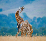 Two giraffes in savanna. Kenya. Tanzania. East Africa. Stock Photos