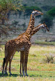 Two giraffes in savanna. Kenya. Tanzania. East Africa. Royalty Free Stock Photos