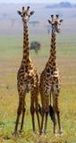 Two giraffes in savanna. Kenya. Tanzania. East Africa. Stock Images