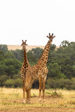 Two giraffes. Savanna of Masai Mara Stock Photo