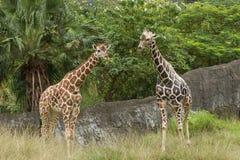 Two giraffes at savannah Stock Photos