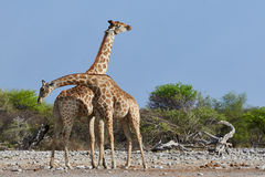 Two giraffes in the savannah. Two giraffes fighting with strokes of the neck Stock Photos