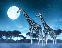 Two giraffes on the savannah Royalty Free Stock Image