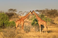 Two giraffes in the savannah stock image