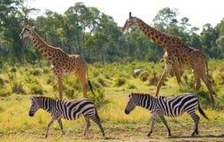 Two giraffes in savannah with zebras. Kenya. Tanzania. East Africa. Royalty Free Stock Photo