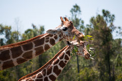 Two giraffes sharing a branch Stock Images
