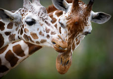 Two Giraffes Showing Love Stock Image