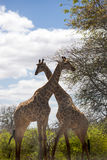 Two Giraffes Standing in the African Savannah, South Africa. Kruger Stock Photos