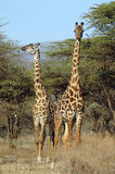 Two giraffes standing amongst acacia trees Royalty Free Stock Images