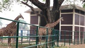 Two giraffes standing in Dhaka zoo