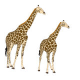 Two giraffes standing Stock Images