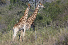 Two giraffes standing in tall brush Royalty Free Stock Photos
