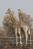 Two giraffes standing with their backs turned with their heads i. N the scorched savanna royalty free stock photo