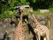 Two Giraffes in the Sun Stock Photography