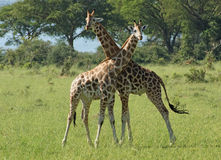 Two Giraffes in sunny ambiance Royalty Free Stock Images