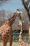 Two giraffes on a sunny day at the zoo stock photos