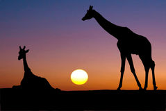 Two giraffes in the sunset Stock Photo