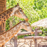 Two giraffes take care together. Royalty Free Stock Photography