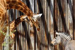 Two giraffes talk to a zebra in the zoo. Two giraffes talk to a zebra in the african savanna of the Parc de la Tete d`Or in Lyon Royalty Free Stock Images