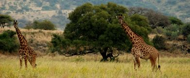 Two giraffes in tanzania Stock Images