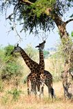 Two giraffes under a tree. Stock Photography