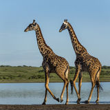 Two Giraffes walking by a river, Serengeti. Tanzania stock images