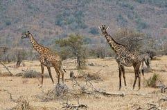 Two giraffes. Walking in tha savanna Royalty Free Stock Photography