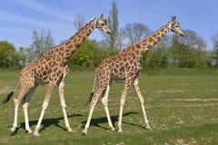 Two giraffes walking. Two giraffes Giraffa camelopardalis walking on grass in single file Royalty Free Stock Photography