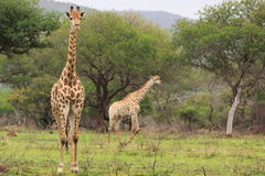 Two giraffes in the wild stock photography