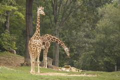 Two giraffes. At the zoo Royalty Free Stock Photo