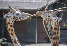 Two giraffes in the zoo with a bough Stock Image