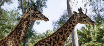 Two Giraffes, Zoo Series, nature, animal. Two Giraffes walking single file Stock Photo