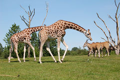 Two girafs. On green grass with a blue sky Royalty Free Stock Image
