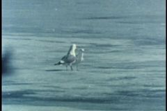 Two glaucous gulls walking on ice in Alaska stock video footage