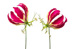 Two gloriosa. At a white background Stock Image