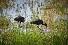 Two glossy ibis on the wetland in Spanish a national park in Catalonia stock photo