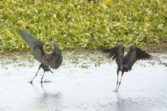 Two glossy ibises landing in a swamp in Christmas, Florida. Stock Images