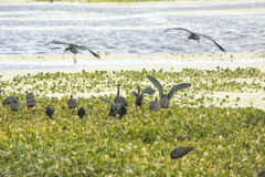 Two glossy ibises landing in a swamp in Christmas, Florida. Royalty Free Stock Photo