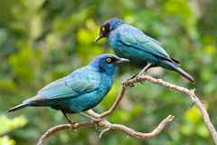 Two Glossy Starlings Royalty Free Stock Photo