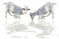 Two goat Stock Photo