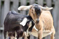 Two goat2. Two goats showing affection for each other Stock Images