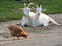 Two goat and hen Stock Images