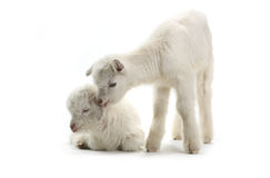 Two goat Royalty Free Stock Images