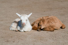 Two goat kids Royalty Free Stock Photography