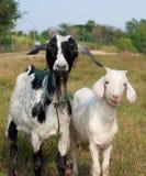 Two goat portrait stock images