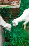 Two goat`s kid with grass royalty free stock image