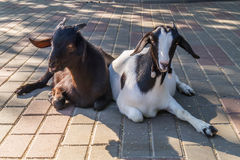 Two goat Stock Photography
